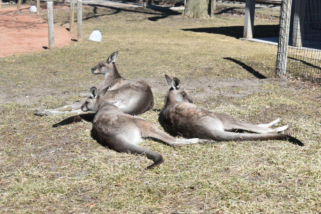 Eastern Grey Kangaroo – Saginaw Children's Zoo